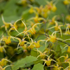 Epimedium 'Amber Queen' Courtesy of Walters Gardens