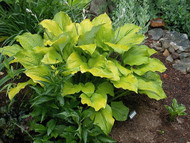 'Golden Gate' Hosta Courtesy of Carol Brashear