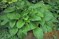 'Old Faithful' Hosta Courtesy of Shady Oaks Nursery