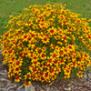 Coreopsis 'Curry Up' Courtesy of Walters Gardens