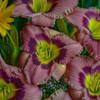 Hemerocallis 'Always Afternoon' Courtesy of Walters Gardens