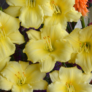 Hemerocallis 'Stella Supreme' Courtesy of Walters Gardens