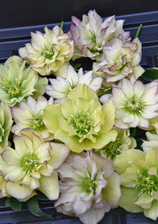 Helleborus 'First Dance' Courtesy of Walters Gardens