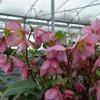 Helleborus ROSEMARY Courtesy of Walters Gardens