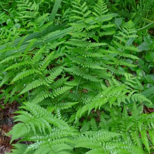 Eastern Wood Fern Courtesy of Casa Flora