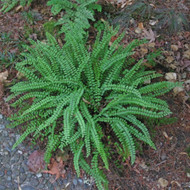 Maidenhair Spleenwort Fern Courtesy of Casa Flora