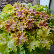 Heuchera 'Apple Twist' Spring Growth (Courtesy of Walters Gardens)