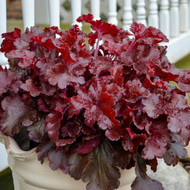 Heuchera 'Cherry Truffles' Courtesy of Walters Gardens