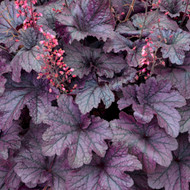 Heuchera 'Grape Timeless' Courtesy of Walters Gardens