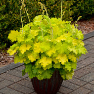 Heuchera 'Lemon Love' Courtesy of Walters Gardens