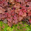 Spring Color of Heuchera 'Peachberry Ice' Courtesy of Walters Gardens