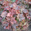 Late Summer Color of Heuchera 'Peachberry Ice' Courtesy of Walters Gardens