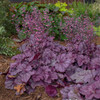 Heuchera 'Pink Panther' Courtesy of Walters Gardens