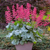 Heuchera 'Spearmint' Courtesy of Walters Gardens