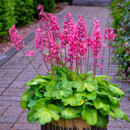 Heuchera 'Timeless Glow' Courtesy of Walters Gardens