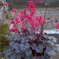 Heuchera 'Timeless Treasure' Courtesy of Walters Gardens
