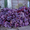 Heuchera 'Wildberry' Courtesy of Walters Gardens