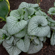 Brunnera 'Sterling Silver' Courtesy of Walters Gardens