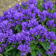 Campanula glomerata Genti Blue 'Allgentibl' Courtesy of Walters Gardens