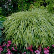 Hakonechloa macra 'Aureola' Courtesy of Walters Gardens
