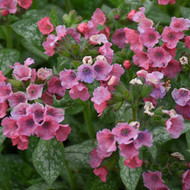 Pulmonaria 'Pretty in Pink' Courtesy of Walters Gardens