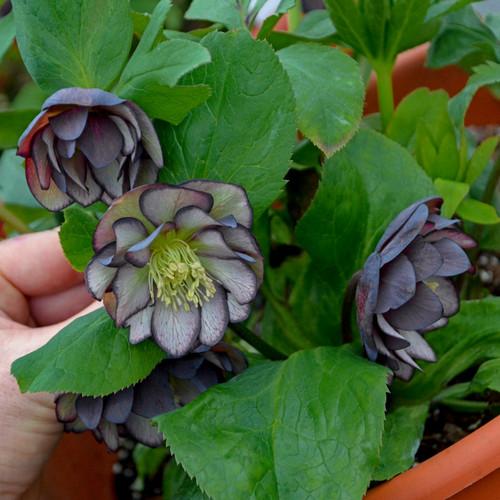 Helleborus 'Black Tie Affair' Courtesy of Walters Gardens