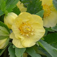 Helleborus 'California Dreaming' Courtesy of Walters Gardens