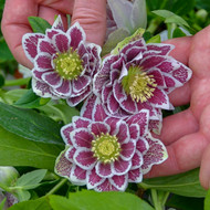 Helleborus 'Shotgun Wedding' Courtesy of Walters Gardens