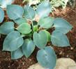 'Hadspen Blue' Hosta From NH Hostas