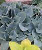 'Hadspen Blue' Hosta Courtesy of Walters Gardens