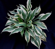 Hosta 'Bright Star' Courtesy of Naylor Creek and J. Van den Top