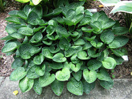 Hosta 'Little Hobber' Courtesy of Carol Brashear