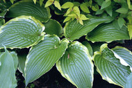 Hosta 'Stand Corrected' Courtesy of Ron Livingston and the Hosta Library