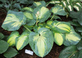 'Great Expectations' Hosta From NH Hostas