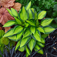 'June Spirit' Hosta Courtesy of Walters Gardens