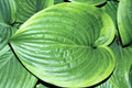 Hosta 'Mariachi' Courtesy of Mark Zilis and the Hosta Library