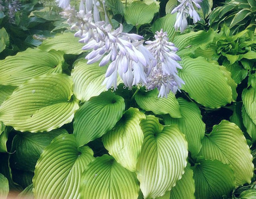 Hosta 'Golden Falls' Courtesy of Doug Ruff and the Hosta Library
