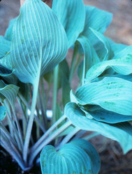Hosta 'Carolina Blue' Courtesy of Bob Solberg