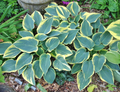'First Frost' Hosta From NH Hostas
