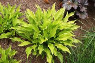 'Lakeside Down Sized' Hosta From NH Hostas