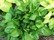 'Quilting Bee' Hosta From NH Hostas