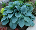 'Blueberry Muffin' Hosta Courtesy of Walters Gardens
