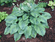 'Devil's Advocate' Hosta Courtesy of Carol Brashear