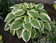 'Bridal Falls' Hosta Courtesy of Walters Gardens
