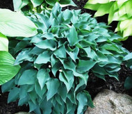 'Slim and Trim' Hosta Courtesy of Shady Oaks Nursery