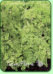 Himalayan Maidenhair Fern Courtesy of Casa Flora