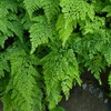 Himalayan Maidenhair Fern Courtesy of Casa Flora
