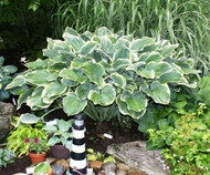 'Sagae' Hosta From NH Hostas