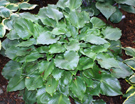 Grand Slam Hosta - Two Gallon