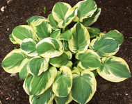 'Carnival' Hosta From NH Hostas